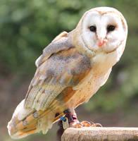 Barn Owl 11 by Chocomix-Stock