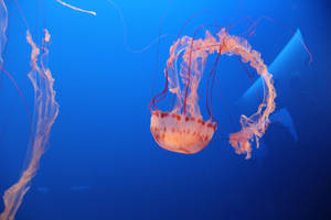 Jelly Fish 3 by Chocomix-Stock