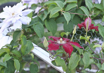 Summer Clematis by SmilingY