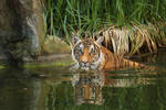 Tiger is taking a bath by LoByteSo