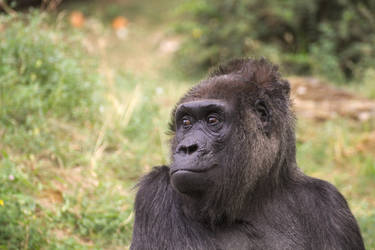 Gorilla by LoByteSo