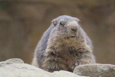 Marmot by LoByteSo