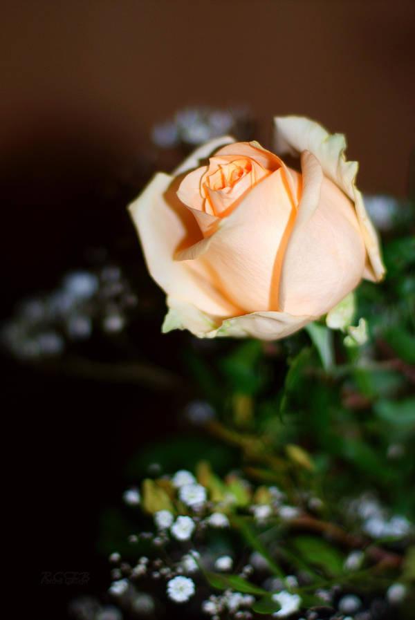 Orange Rose by JasonRCFB