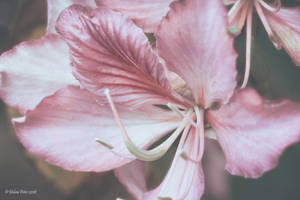 Pale Orchid by PeaTree-Creations