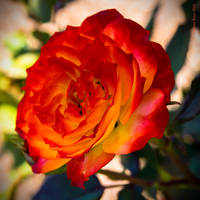 Flaming Rose by PeaTree-Creations