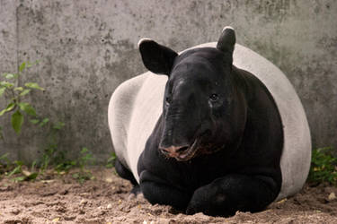 TAPIR NEMO by rENEkOESSLERvISUALS