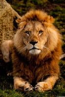 LION III by rENEkOESSLERvISUALS