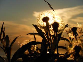 Dandelion Sunset by Life-Flux