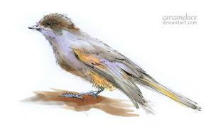 Siberian Jay by Carcaneloce