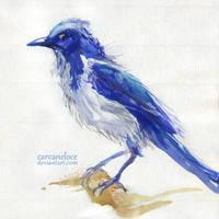 Florida Scrub Jay by Carcaneloce