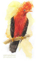 The Andean Cock-of-the-rock by Carcaneloce
