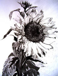 Sunflower by graphicnovelgirl