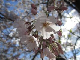 Sakura by Azureluck
