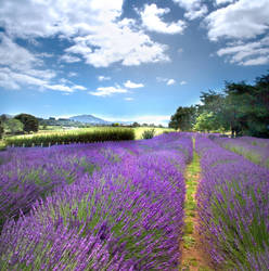 Alphra Lavender Farm by aaron-r-photography