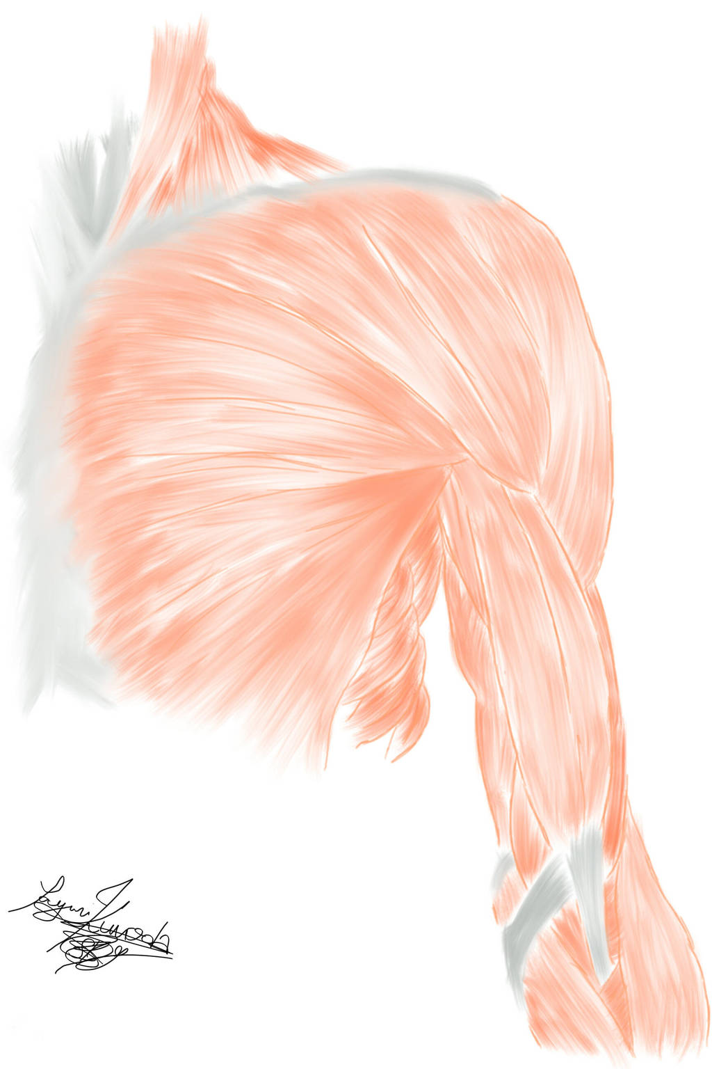Anatomy Shoulder And Bicep Muscles By Sayurikuroda On Deviantart