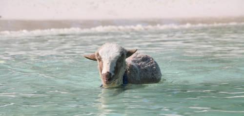 Eddie the swimming lamb by PatriciaVazquez