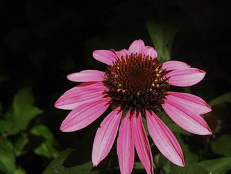 Pink Flower by gedehoogh