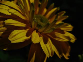 Yellow petals by gedehoogh