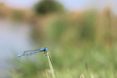 damselfly original by Reichst