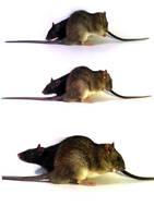 Black and brown rat by Harpyen