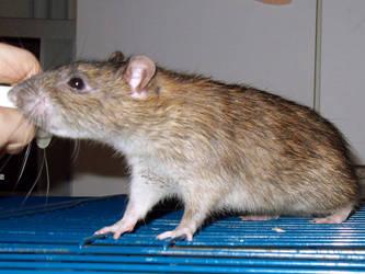 Wildhelm the rat9 by Harpyen