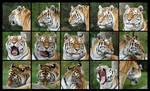 Tiger head angles by amandas-sketches