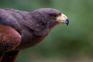 Harris Hawk by stacey-woo-x