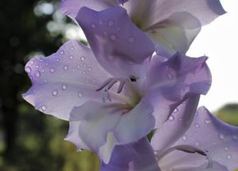 Gladiola Flower by Belvarius
