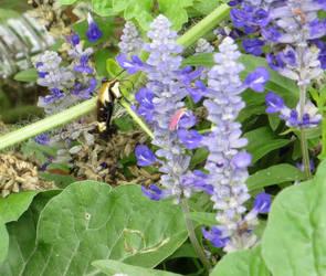 Hummingbird Moth by Belvarius
