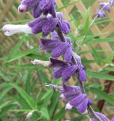 Mexican Sage Flower by Belvarius