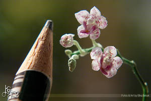 Miniature Orchid and pencil by Kospero