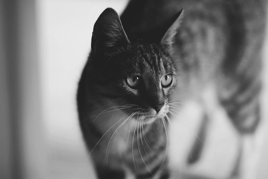 Cat by Lucibuska