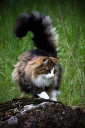 Felis silvestris catus by rikuv