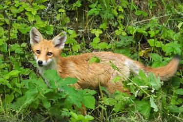 Young fox by Vladimir-Z
