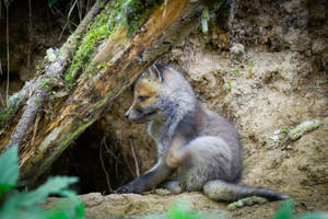 Fox pup by Vladimir-Z
