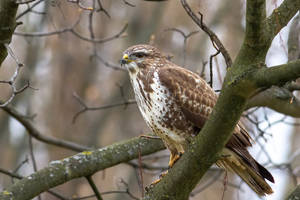 Common buzzard by Vladimir-Z