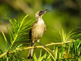Silver-crowned Friarbird by Mike-Kossi