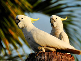 Sulphur-crested cockatoos by Mike-Kossi
