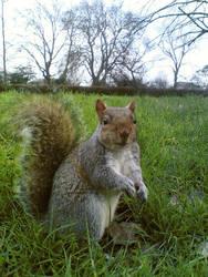 Squirrel by Hindush