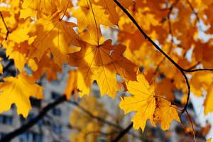 Acer platanoides by Tatyana-Sanina