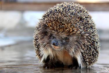 Hedgehog (Erinaceus europaeus) by Tatyana-Sanina