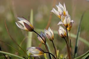 Tulipa biflora by Tatyana-Sanina
