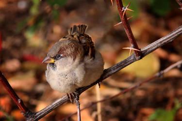 Sparrow 2 by Tatyana-Sanina