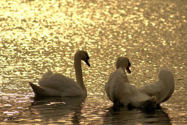 Swan In LOVE 2 by JU-LP