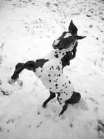 Snowfall Appaloosa by sarahrosehorse