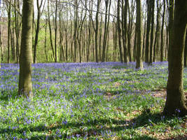 Bluebell field by 212Stock