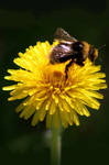 Bee On Dandelion by NessaSan