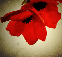 poppy poppy by matricaria72