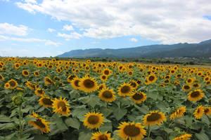 sunflower by MyBrightSide33