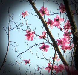 Blossom II by louisekc